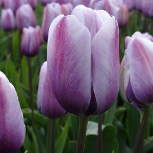 tulip lilac love