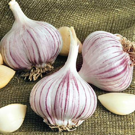 Growing Garlic in the North