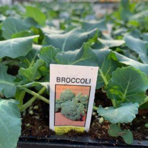 Broccoli – 4 Pack