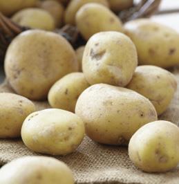 Seed Potato Kennebec White