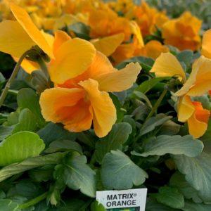 Pansies – 4 Pack Matrix Orange