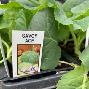 Cabbage – Savoy Ace – 4 Pack