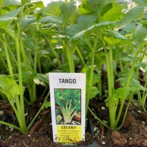 Celery – Tango – 4 Pack