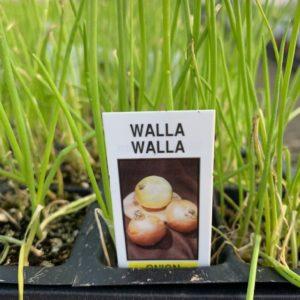Onion – Walla Walla – 4 Pack