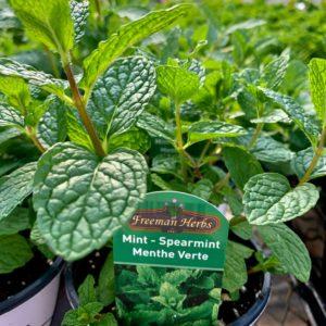 Mint – Spearmint