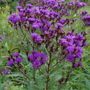 SEED NEW YORK IRONWEED