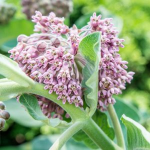 WILDFLOWER SEED MILKWEED