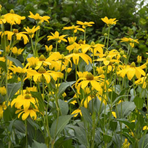 WILDFLOWER SEED CUTLEAF CONEFLOWER
