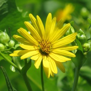 WILDFLOWER SEED YELLOW CUP PLANT
