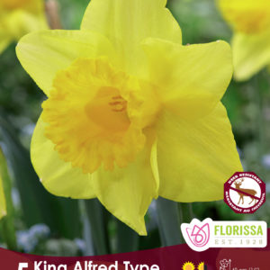 NARCISSUS KING ALFRED YELLOW