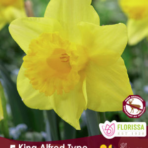 NARCISSUS KING ALFRED