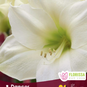 AMARYLLIS BLOOM DANCER