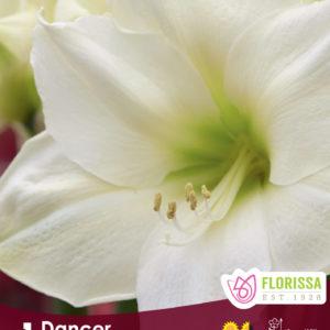 AMARYLLIS BLOOM DANCER