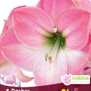 AMARYLLIS BLOOM DASHER