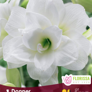 AMARYLLIS BLOOM DONNER