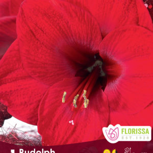 AMARYLLIS BLOOM RUDOLPH