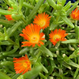 ICE PLANT WOW ORANGE