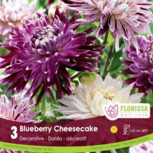 DAHLIA COLOURFUL COMPANIONS Blueberry Cheesecake