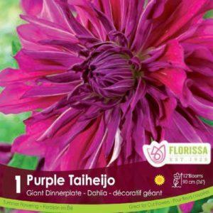 DAHLIA DINNERPLATE Purple Taiheijo