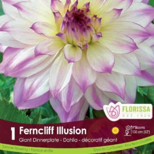 DAHLIA DINNERPLATE Ferncliffe Illusion