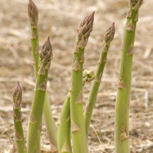 ASPARAGUS MILLENNIUM per root