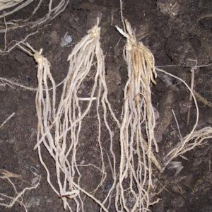 ASPARAGUS MARY WASHINGTON 2 year root