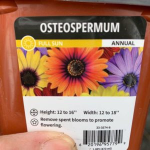 OSTEOSPERMUM – 4″ POT