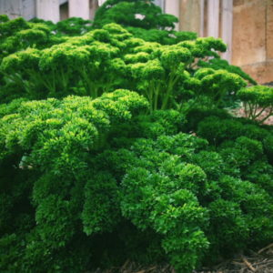 PARSLEY – CURLY