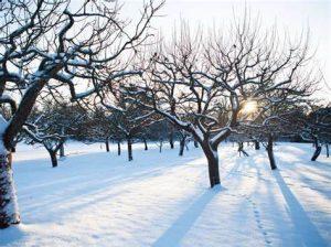 PRUNE FRUIT TREE WINTER