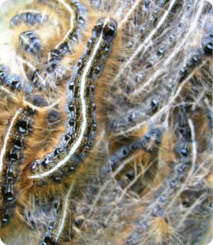TentCaterpillar