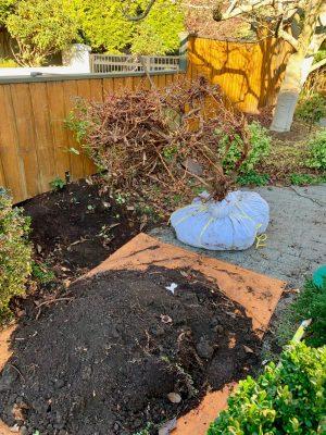 transplanting vine